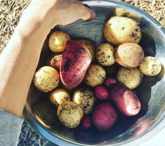 Potatoes from the garden | veganblondes.com